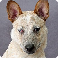 Adopt A Pet :: Leah Lou - Modesto, CA