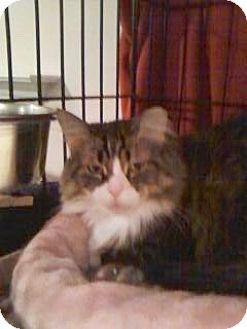 Maine Coon Cat for adoption in Colmar, Pennsylvania - Mocha