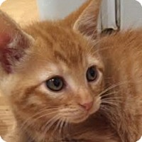 Adopt A Pet :: Chester - LaJolla, CA