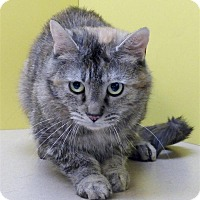 Domestic Mediumhair Cat for adoption in Sedona, Arizona - Princess