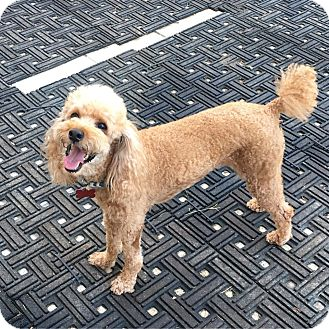 Poodle (Miniature) Dog for adoption in Fullerton, California - Bennett