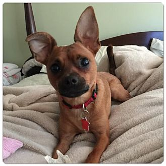 Chihuahua Mix Dog for adoption in Holly Springs, North Carolina - Jasper