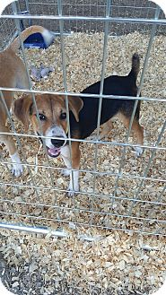 Hound (Unknown Type) Mix Puppy for adoption in Livingston Parish, Louisiana - Mindy