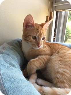 Domestic Shorthair Kitten for adoption in Colmar, Pennsylvania - Ringo