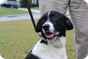 Border Collie Mix Dog for adoption in Charlotte, North Carolina - Misty