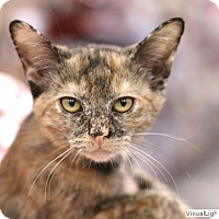 Domestic Shorthair Kitten for adoption in Westchester, California - Sprinkles