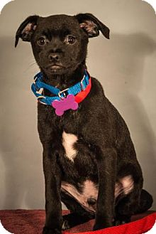 Pug/Chihuahua Mix Puppy for adoption in Berkeley Heights, New Jersey - Hamlet