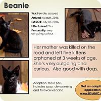 Domestic Shorthair Kitten for adoption in Mount Gilead, Ohio - Beanie