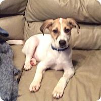 Border Collie/Labrador Retriever Mix Puppy for adoption in joliet, Illinois - Crosby