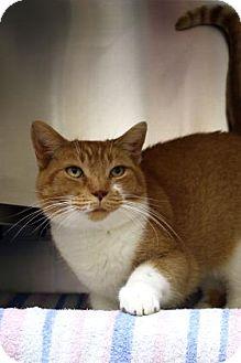 Domestic Shorthair Cat for adoption in Ann Arbor, Michigan - Cuthbert