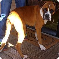 Boxer Mix Dog for adoption in Manning, South Carolina - Drake