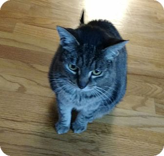 Domestic Shorthair Cat for adoption in Cleveland, Ohio - Cheetah