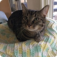 Domestic Mediumhair Kitten for adoption in Woodstock, Virginia - Diamond