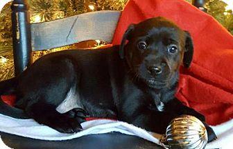 Miniature Pinscher Mix Puppy for adoption in Champaign, Illinois - Gracie