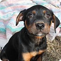 Adopt A Pet :: Pluto $250 - Seneca, SC