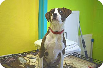 Beagle Mix Dog for adoption in New Cumberland, West Virginia - Magnus
