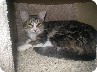 Domestic Shorthair Cat for adoption in West Dundee, Illinois - Razzi