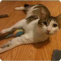 Domestic Shorthair Cat for adoption in Chicago, Illinois - Jack