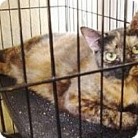 Domestic Shorthair Cat for adoption in Miami, Florida - Peabody