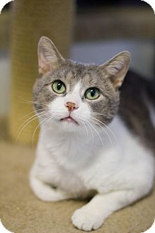 Domestic Shorthair Cat for adoption in Grayslake, Illinois - Olaf