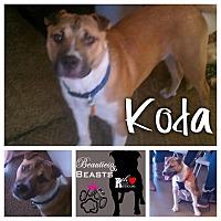 Shar Pei/Jack Russell Terrier Mix Dog for adoption in Wichita, Kansas - Koda