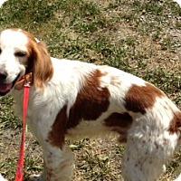 Adopt A Pet :: AZ/Rocket - Glendale, AZ