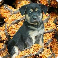 Adopt A Pet :: Samoas - Austin, TX