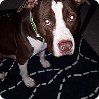 Adopt A Pet :: Romeo at Healthy Paws - Warren, MI