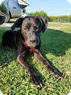 Retriever (Unknown Type) Mix Puppy for adoption in Washington, D.C. - Ebony