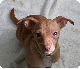 Chihuahua/Dachshund Mix Puppy for adoption in Brunswick, Maine - Sam