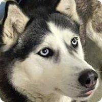 Adopt A Pet :: Bella - Shingleton, MI