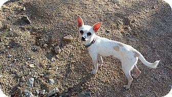 Chihuahua Mix Dog for adoption in Scottsdale, Arizona - Fleetwood
