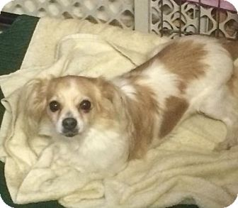 Papillon/Chihuahua Mix Dog for adoption in Imperial Beach, California - Patches
