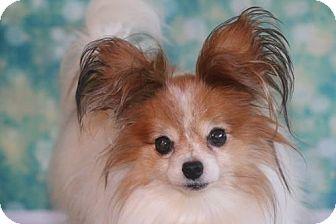 Papillon Dog for adoption in Dallas, Texas - Sierra Mist