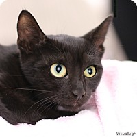 Domestic Shorthair Kitten for adoption in Westchester, California - Simone