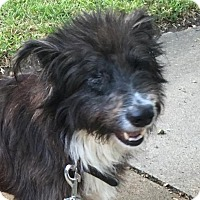 Terrier (Unknown Type, Medium)/Collie Mix Dog for adoption in Katy, Texas - SAILOR