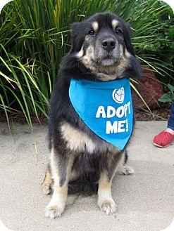 Australian Shepherd Mix Dog for adoption in Pacific Grove, California - Kola