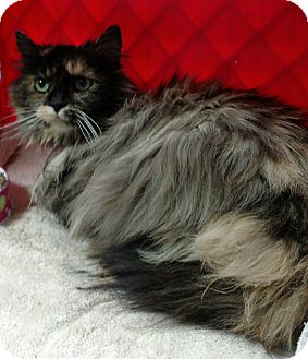 Domestic Longhair Cat for adoption in Shelbyville, Kentucky - Merelda