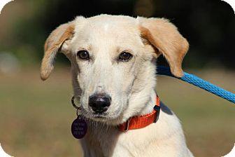 Labrador Retriever Mix Dog for adoption in Berkeley Heights, New Jersey - Sammy