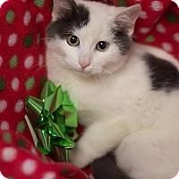 Domestic Shorthair Kitten for adoption in Murphysboro, Illinois - Blaine
