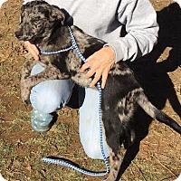 Adopt A Pet :: Abigail - gorgeous merle coat - Stamford, CT