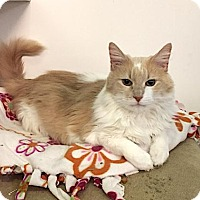 Adopt A Pet :: Spice - Lakewood, CO