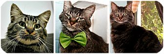 Domestic Mediumhair Cat for adoption in Forked River, New Jersey - Valiant