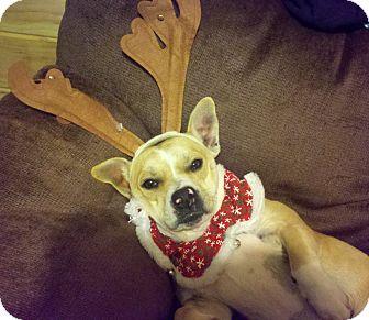 Corgi/Boxer Mix Dog for adoption in Allentown, Pennsylvania - Maria
