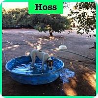 Adopt A Pet :: Hoss - Orange Cove, CA