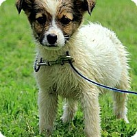 Adopt A Pet :: Harper - Brattleboro, VT