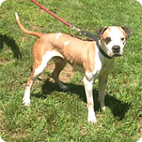 Boxer Mix Dog for adoption in Wilmington, Massachusetts - Kadir