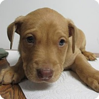 Adopt A Pet :: Cinnamon - Lincolnton, NC