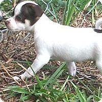 Adopt A Pet :: TINY TIM - Terra Ceia, FL