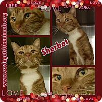 Domestic Shorthair Cat for adoption in Tucson, Arizona - Sherbet The Red